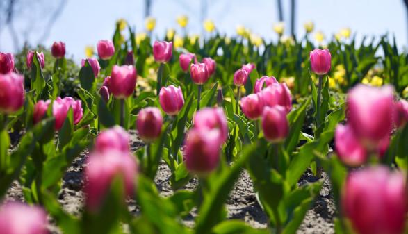 Tulpen © Garten Tulln, Garten Tulln